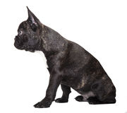 French bulldog dark color Stock Photos
