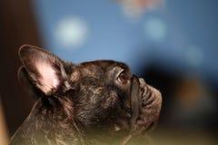 French Bulldog Day Sunday 2018 year. Morning breakfast Royalty Free Stock Photo