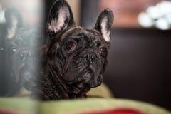 French Bulldog Day Sunday 2018 year. Morning breakfast Royalty Free Stock Photography