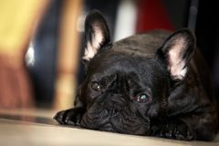 French Bulldog Day Sunday 2018 year. Morning breakfast Stock Photo