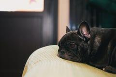 French Bulldog Day Sunday 2018 year. Morning breakfast Stock Images