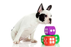 French bulldog with dices isolated on white background Stock Photo