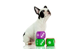 French bulldog with dices isolated on white background dog toys Royalty Free Stock Photography