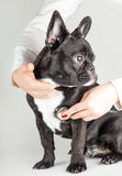 French Bulldog at the doctor Royalty Free Stock Images