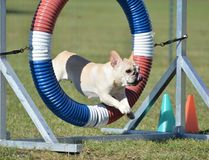 French Bulldog at Dog Agility Trial. Tan French Bulldog Leaping Through a Tire at Dog Agility Trial Stock Images