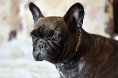 The French Bulldog is a dog, best friend. stock photo