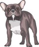 French bulldog. Royalty Free Stock Photography