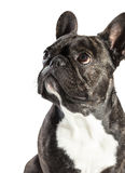 French Bulldog dog close-up Stock Image
