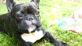 French Bulldog dog is drinking water from a bottle stock video
