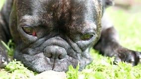 French Bulldog dog falls asleep stock video footage
