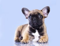 French bulldog dog. Sits on on a blue background Stock Photos