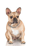 French bulldog dog Royalty Free Stock Photography