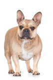 French bulldog dog Stock Photography