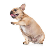 French bulldog dog Stock Photos