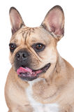 French bulldog dog Stock Images