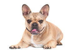 French bulldog dog Royalty Free Stock Images