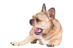 French bulldog dog Stock Image