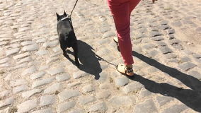 French Bulldog dog goes on a leash next to the person stock footage