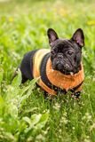 French Bulldog dog grass of the field in a sweater royalty free stock images