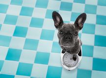 Dog on scale , with overweight. French bulldog dog with guilty conscience for overweight, and to loose weight , standing on a scale, in bathroom stock photography