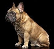 French Bulldog Dog Isolated on Black Background. In studio stock photo