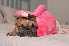 French Bulldog dog lying on bed with pink flamingo bird plush toy on head stock images