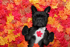 Autmn fall leaves dog. French bulldog dog , lying on the ground full of fall autumn leaves, sleeping a siesta and lying on the back torso Stock Photos