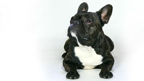 French Bulldog dog lying stock video footage