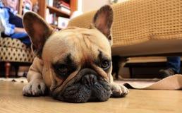 French bulldog dog lying on the wood floor. Amazing dog. French bulldog dog lying on the wood floor Royalty Free Stock Photo