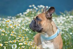 French Bulldog dog with pastel blue collar looking to the side  while standing in a field of white daisy flowers stock photography