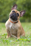 French bulldog dog portrait Royalty Free Stock Photography