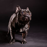 French bulldog Stock Images