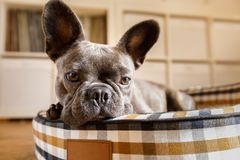Dog resting on bed at home. French bulldog dog relaxing in living room or daydreaming in pet bed , thinking about life stock image
