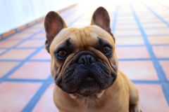 French bulldog dog rests posing to the camera. Prety French bulldog dog rests posing to the camera Royalty Free Stock Images