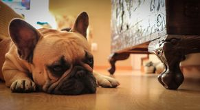 French bulldog dog rests on the wooden floor. Prety French bulldog dog rests on the wooden floor Royalty Free Stock Image