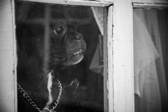 A French bulldog dog waits or meets the hosts and looks through the window stock photo