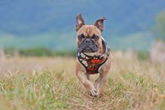 French Bulldog dog wearing a beautiful floral harness running towards camera through meadow