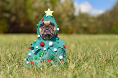 Free French Bulldog Dog Wearing Funny Christmas Tree Costume With Baubles And Stars Sitting On Grass Stock Photo - 200810140