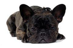 French Bulldog dog on white background Royalty Free Stock Images