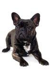 French Bulldog dog on white background Stock Images