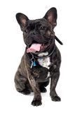French Bulldog dog on white background Royalty Free Stock Image