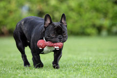 French bulldog with dogtoy. Portrait of a young French bulldog fetching a red dogtoy Stock Images