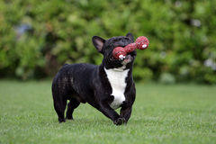 French bulldog with dogtoy Royalty Free Stock Image