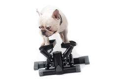 French bulldog doing exercise on stepper Stock Photography