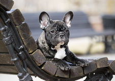 French bulldog. Domestic, 3 months royalty free stock images