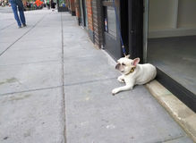 French bulldog in doorway of a cafe Stock Images