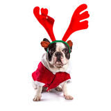 French bulldog dressed as reindeer Rudolph. Over white Royalty Free Stock Photography