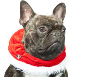 French bulldog dressed up for Christmas Stock Photos