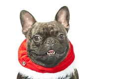 French bulldog dressed up for Christmas Royalty Free Stock Image