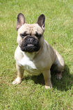 French bulldog with ears up Stock Photography